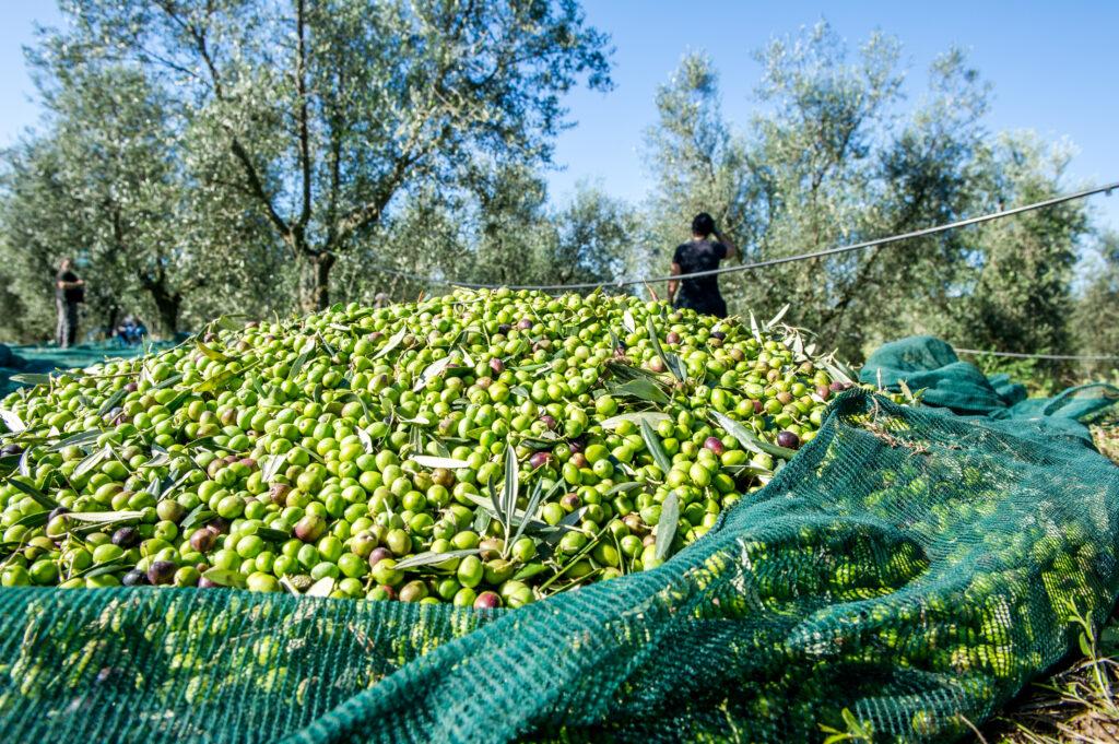 campo di olive